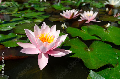 Photo Stands Water lilies beautiful water lily