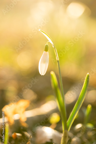 Fototapeta Closeup of a snowbell standing in the sunlight with a bokeh background in a forest at springtime obraz na płótnie