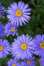 Aster Alpinum Blue Flowers