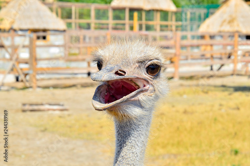 Ostrich with an open beak behind the fence