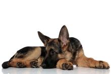 Cute German Shepard Lying With...