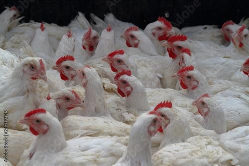 Massentierhaltung auf Geflügelfarmen