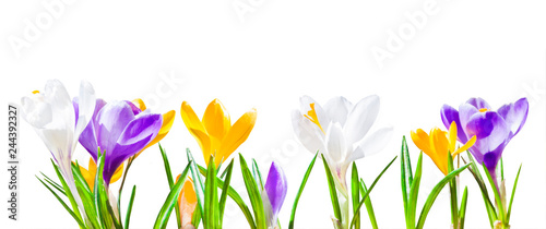 Colorful crocus flowers isolated on white background
