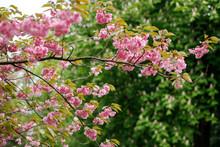 Trees Bloom Pink Flowers