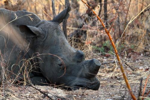 Nashörner in der Savanne von Simbabwe