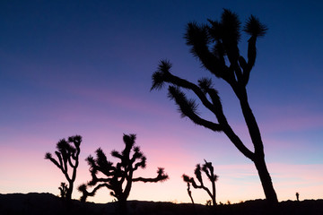 Silhouette of a Joshua Tree in the Sunset in Joshua Tree National Park (California).