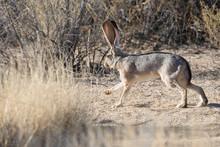 Wild Jack Rabbit Grazing The F...