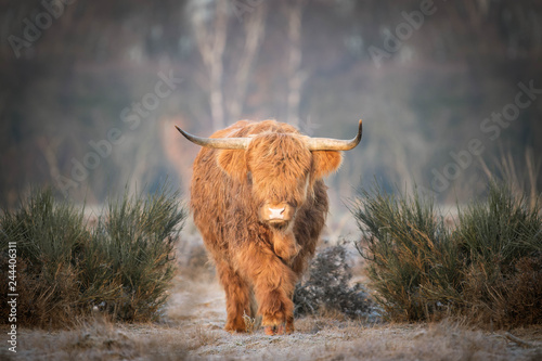Fototapeta Scottish Highlander slowly on the move obraz