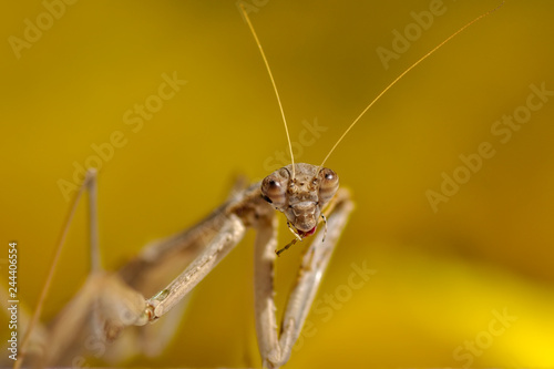 Close up of pair of Beautiful European mantis ( Mantis religiosa )