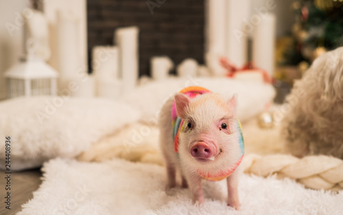 Pink mini pig indoors, partly focused