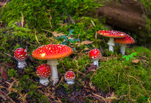 Group Of Fly Agaric With Red Caps On Mossy Forest Ground