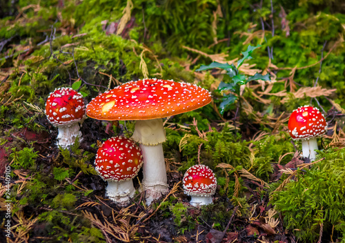 Photo Group Of Fly Agaric With Red Caps On Mossy Forest Ground