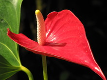 Red Anthuriums With Dark Backg...