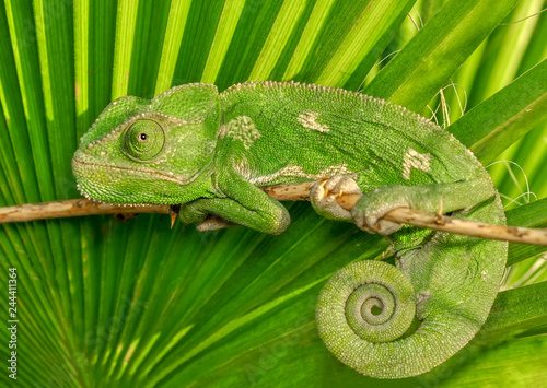 Photo sur Aluminium Cameleon Beautiful Green chameleon sitting on flower in a summer garden