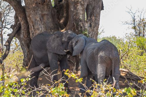 Elephant group under trees in Kruger Park