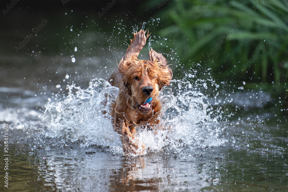 Fototapety, obrazy: 15 Month Old Cocker Spaniel Playing in River