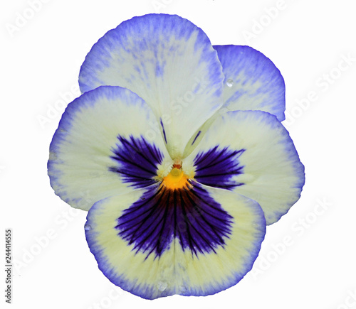 Papiers peints Pansies Pansy in white and blue isolated