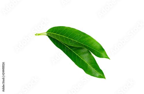 Green Mango leaf isolated on white background