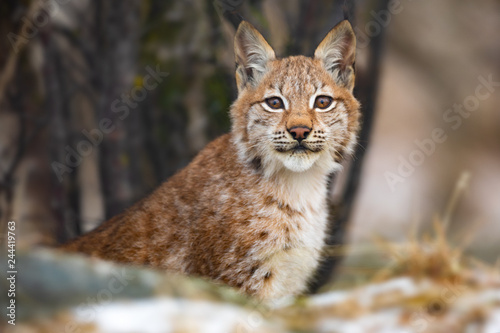 Eurasian lynx sitting in the forest at early winter Fototapeta