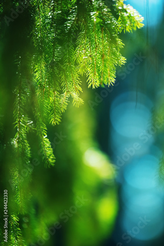 Spruce (Picea abies) needles and branches. Selective focus and shallow depth of field. - 244422330