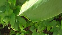 Green Salamander On Leaf