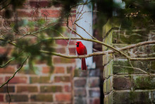 Northern Cardinal In The Tree