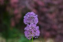 Beautiful Purple Allium Flower...