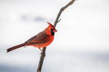 Closeup Of Cardinal Bird