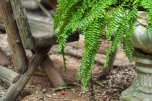 Nephrolepis Or Boston Fern For Home Decoration.