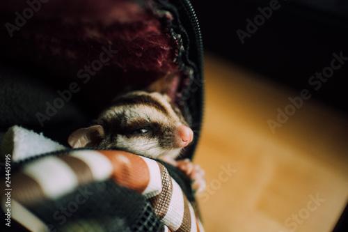 Fotografía  Little cute Sugar Glider sneak out of the pet bag.