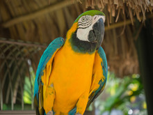 Blue And Yellow Parrot In Aruba