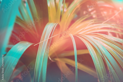 Foto-Lamellenvorhang - Beautiful tropical nature background. Plant with long narrow dangling leaves. Duotone coral orange and teal gradient effect. Sunlight flare. Travel beach vacation wanderlust tranquility concept (von olindana)