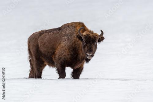 La pose en embrasure Bison European bison (Bison bonasus) in natural habitat