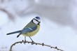 Cute eurasian blue tit sitting on the branch. Wildlife scene from nature. Song bird in the winter. Parus caeruleus.