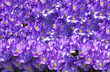 canvas print picture - spring crocus violet flowers