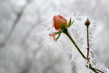 Rose Bud With Long Frozen Ice Needles From The Winter Hoar Frost In Winter, Greeting Card For Valentine's Day With Copy Space
