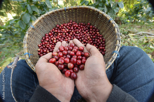 Close up of red berries coffee beans on agriculturist hand Wallpaper Mural