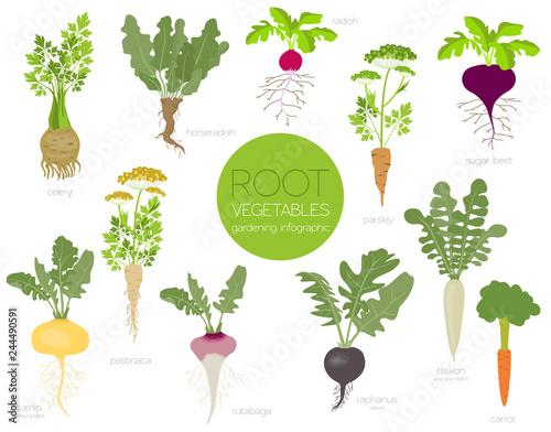 Fotografie, Obraz  Root vegetables raphanus, radish, sugar beet, carrot, parsley etc