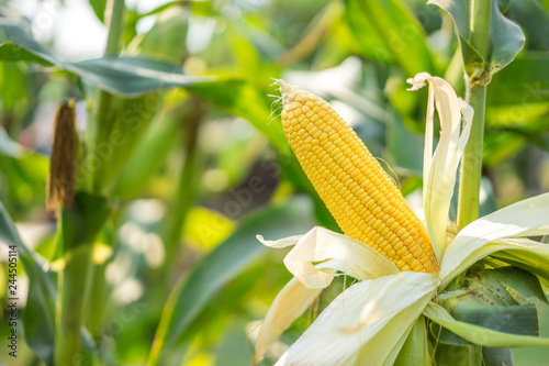 Fotografija Ear of yellow corn with the kernels still attached to the cob on the stalk in organic corn field