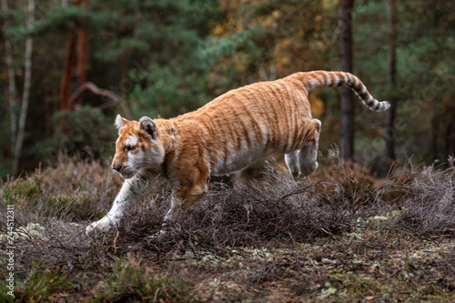 A Male Bengal Tiger marking his territory Image taken during
