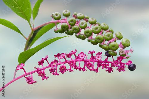 Phytolacca floweror arborea turkish grapes Canvas Print