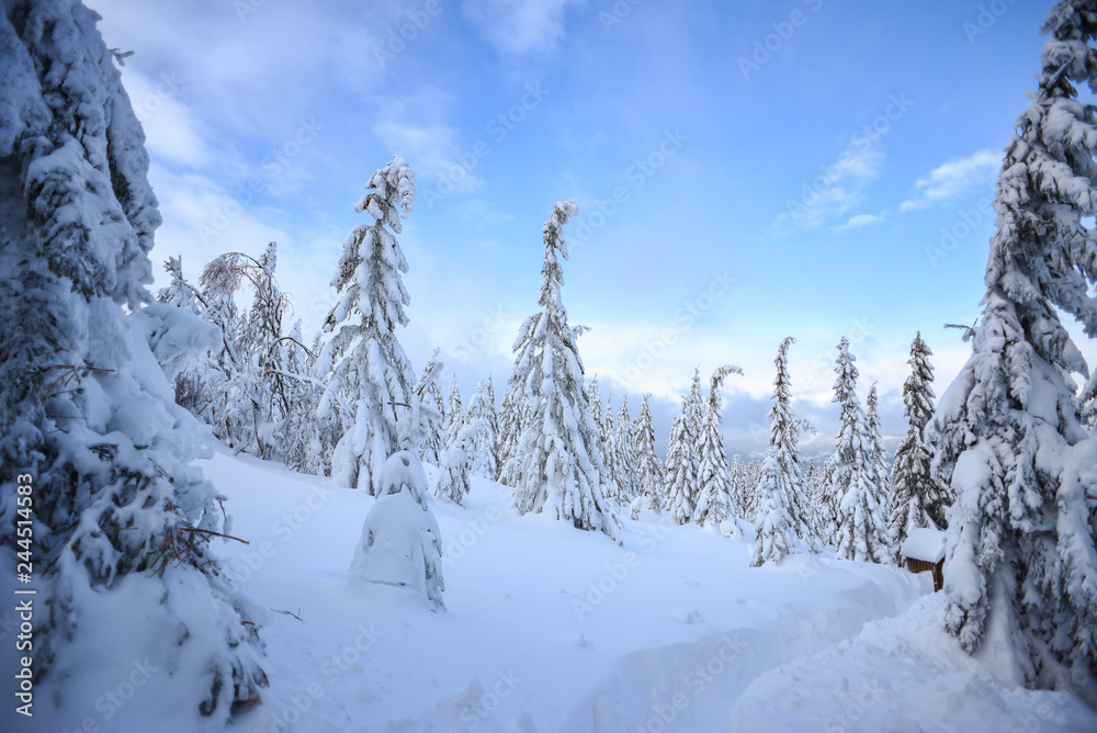 Fototapety, obrazy: Winter landscape, snow-covered trees in the mountains. Karkonosze, Poland.