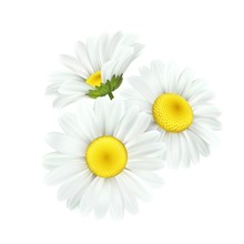 Chamomile Daisy Flower Isolate...