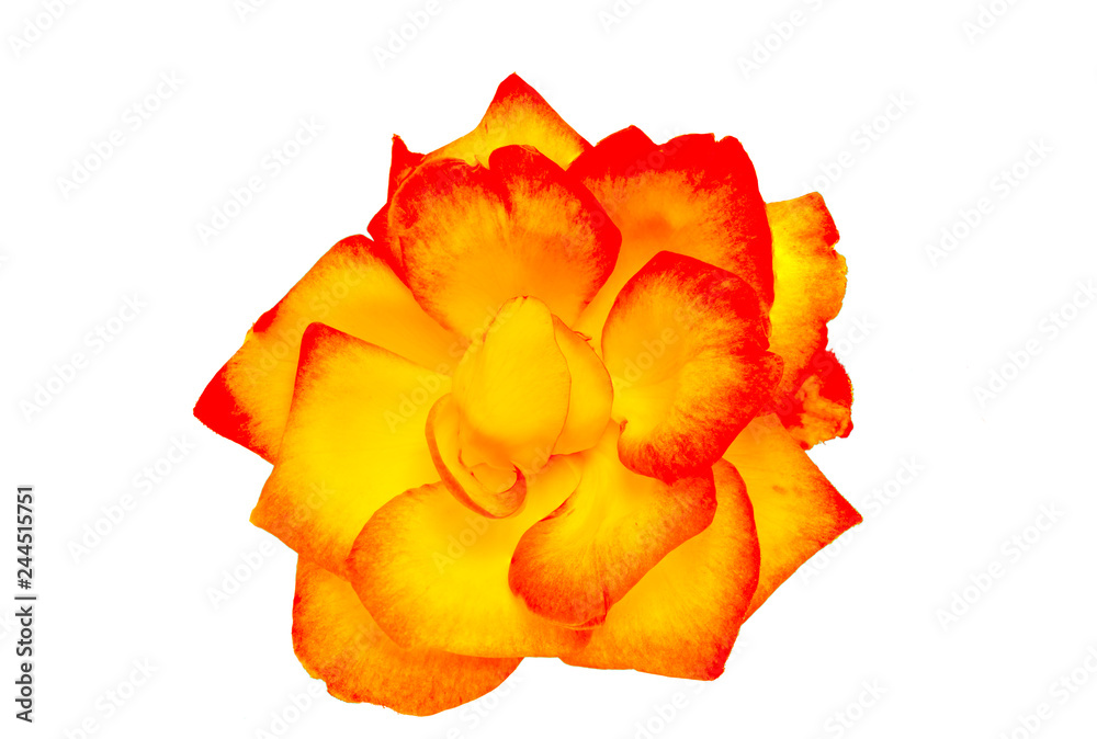 Fototapety, obrazy: Red and yellow rose