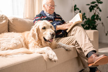 Portrait Of Adorable Golden Retriever Dog Sitting On Couch With Senior Man In Sunlit Living Room, Copy Space