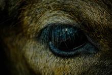 Closeup Of A Beast Eye