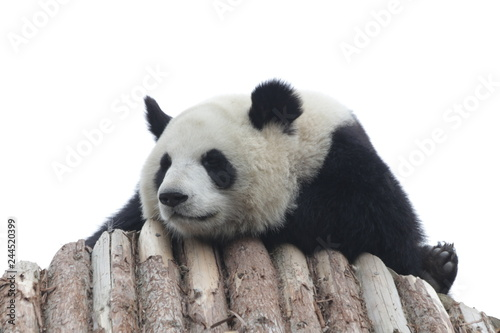 Poster Panda Fluffy Panda Cub is Sleeping on the Roof of the Shelter, China