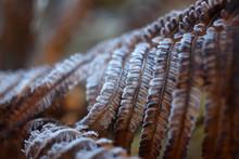 Fern. Frosty Morning. Autumn