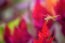 The Dragonfly On Celosia Argentea L. Cv. Plumosa Flower In Garden