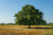 Lonely Big Walnut Tree With A Large Crown Stands In The Field.